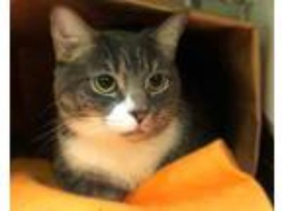 Adopt IGOR a Gray, Blue or Silver Tabby Domestic Shorthair / Mixed (short coat)