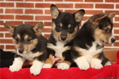 fhrg Corgi puppies for sale