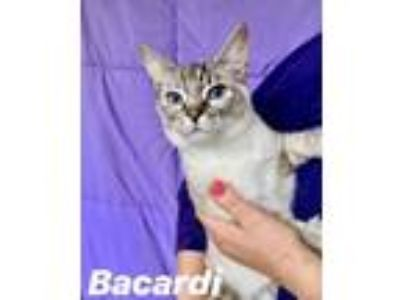 Adopt Bacardi a Siamese, Domestic Short Hair