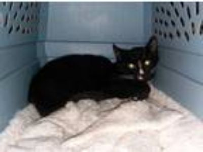 Adopt Friesian a Domestic Short Hair