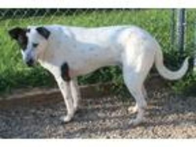 Adopt Chubba a White - with Black Dalmatian / Labrador Retriever dog in Clear