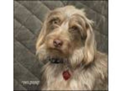 Adopt Jake a Wirehaired Dachshund