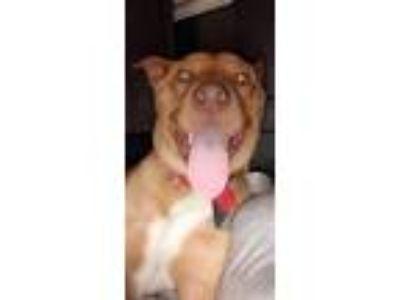 Adopt Dex a Red/Golden/Orange/Chestnut - with White American Pit Bull Terrier /