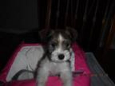 Mini Schnauzer Puppies CKC Registered Parti Color Home Raised 875-950