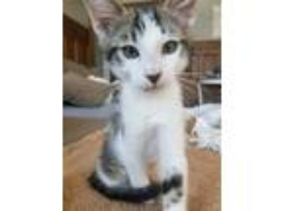 Adopt Aramis KITTEN SHOWER ATTENDEE a White Domestic Mediumhair / Domestic