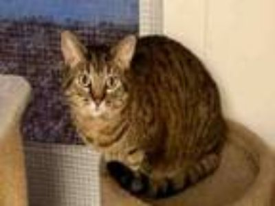 Adopt SHERRY a Domestic Short Hair