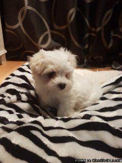 Sweet Maltese Puppies