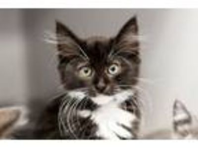 Adopt Oolong a Domestic Short Hair