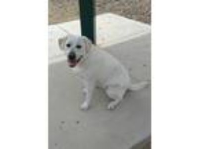 Adopt Riley a White Labrador Retriever dog in Danville, CA (25346572)