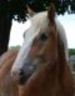 Bronson Belgian - Draft Horse
