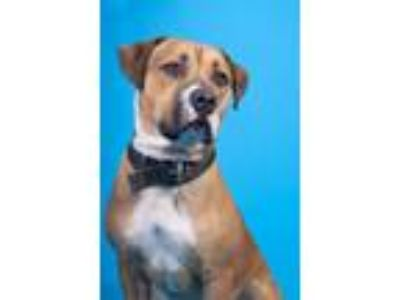Adopt Brodie a American Staffordshire Terrier