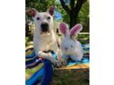 Adopt Otis a Pit Bull Terrier