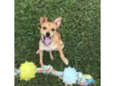 Adopt Cooper a Brown/Chocolate Terrier (Unknown Type, Small) / Mixed dog in