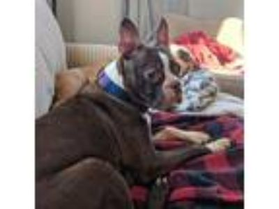 Adopt Crystal Belle a Boston Terrier