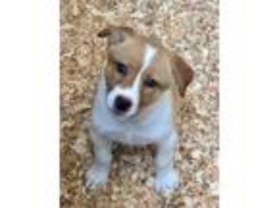 Adopt GINGER a White - with Red, Golden, Orange or Chestnut Border Collie /