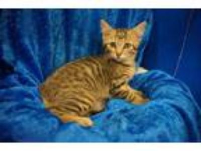 Adopt Coco a Bengal