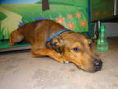 Adopt RANGER a Red/Golden/Orange/Chestnut Labrador Retriever / Mixed dog in