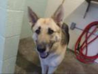 Adopt SCARLETT a German Shepherd Dog