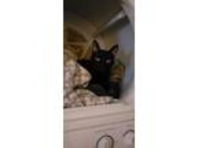 Adopt Eleven a All Black American Shorthair / Mixed cat in Auburn, AL (23480058)