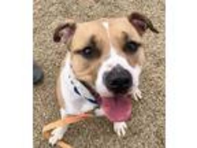 Adopt Peanut Bubba a Tan/Yellow/Fawn American Pit Bull Terrier / Mixed dog in