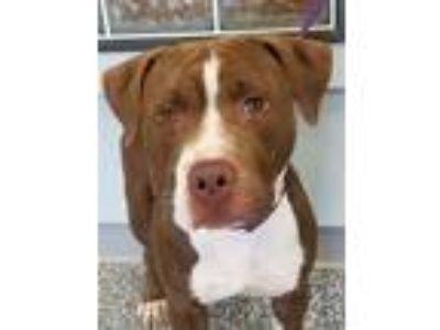 Adopt Luca a Brown/Chocolate Labrador Retriever / Boxer dog in Carthage