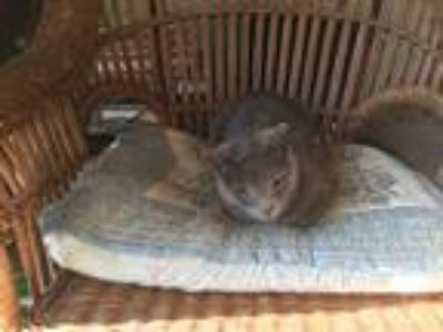 Adopt Shadow a Gray or Blue Domestic Shorthair / Mixed cat in Crestline