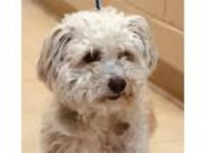 Adopt Riddle a Poodle (Standard) / Mixed dog in San Diego, CA (25254172)