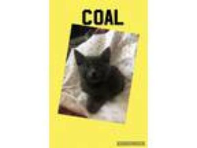 Adopt Coal a Domestic Short Hair