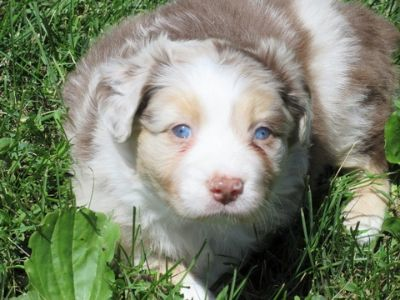 Australian Shepherd PUPPY FOR SALE ADN-80123 - BLUE EYES Australian Shepherd Puppies