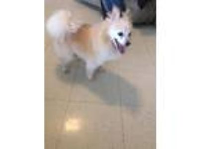Adopt Blondie a Red/Golden/Orange/Chestnut Pomeranian / Mixed dog in