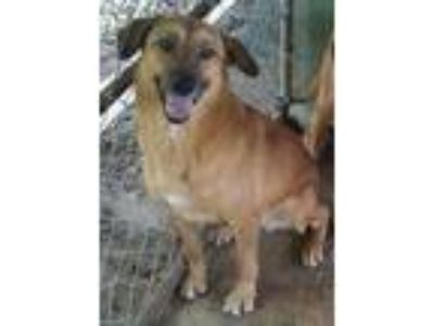 Adopt Trista a German Shepherd Dog / Labrador Retriever / Mixed dog in Pembroke