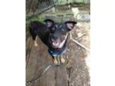 Adopt Maggie a Black German Shepherd Dog / Mixed dog in Clearwater