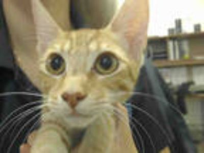 Adopt TROY a Orange or Red Tabby Domestic Shorthair / Mixed (short coat) cat in