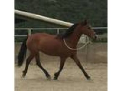 Must sellGriffin 9 year old 14hh bay MorganArabian gelding