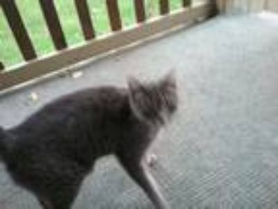 Adopt baby a Tiger Striped American Shorthair / Mixed cat in Grand Ledge