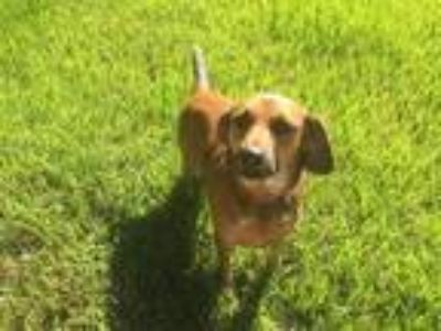 Adopt Bambi Dog a Tricolor (Tan/Brown & Black & White) Retriever (Unknown Type)