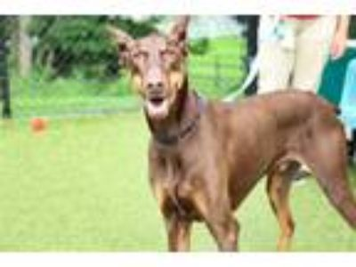 Adopt RUFUS a Brown/Chocolate - with Tan Doberman Pinscher / Mixed dog in