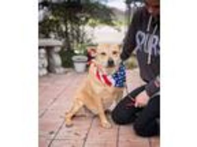 Adopt Momma Dog a Carolina Dog, Labrador Retriever