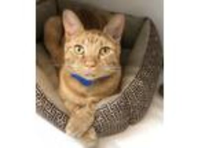 Adopt Jackson DSH 4 years old Male a Domestic Shorthair / Mixed cat in Sterling