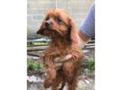 Adopt 3-4 month old Cavapoo puppies (5 total!) a Cavalier King Charles Spaniel /