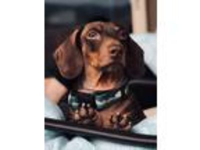 Adopt Morty a Brown/Chocolate Dachshund dog in Alamogordo, NM (24869584)