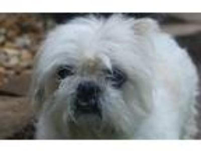 Adopt Bunny Love in her eyes! a White Shih Tzu / Mixed dog in Locust Fork