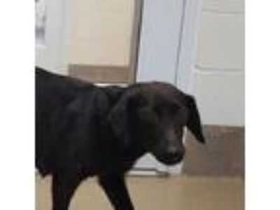 Adopt Princess Dianna a Black Labrador Retriever dog in Chatham, VA (25294450)