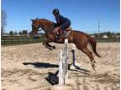Price Reduced Textin On The Run Appendix Mare EventerJumperDressage