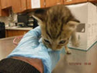 Adopt INO a Brown Tabby Domestic Shorthair / Mixed (short coat) cat in Doral