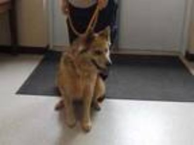 Adopt 41687832 a Tan/Yellow/Fawn Collie / Mixed dog in Cleveland, GA (25278040)
