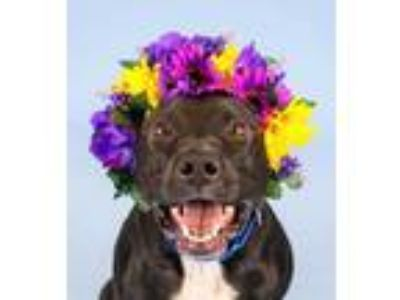 Adopt Becky a Black American Pit Bull Terrier / Mixed dog in Woodinville