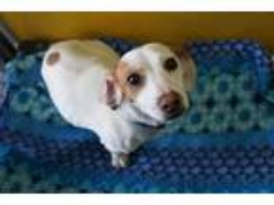 Adopt JUENO a White - with Tan, Yellow or Fawn Beagle / Dachshund / Mixed dog in