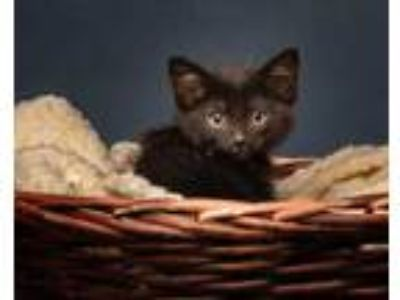 Adopt Treasure a All Black Domestic Shorthair / Domestic Shorthair / Mixed cat