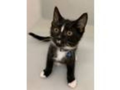 Adopt Laffy a Domestic Short Hair